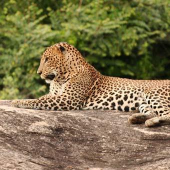 Park-Yala-Leopard
