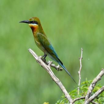 Fågelskådning i Sri Lanka  ( resan går under rådande omständigheter inte att boka)